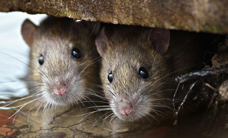 Swedish expressions: När katten är borta dansar råttorna på bordet